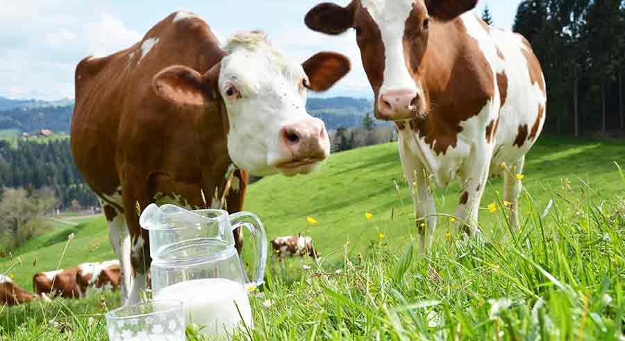 To Boost Milk Yield in Cows at 3 Steps | MilkingCloud