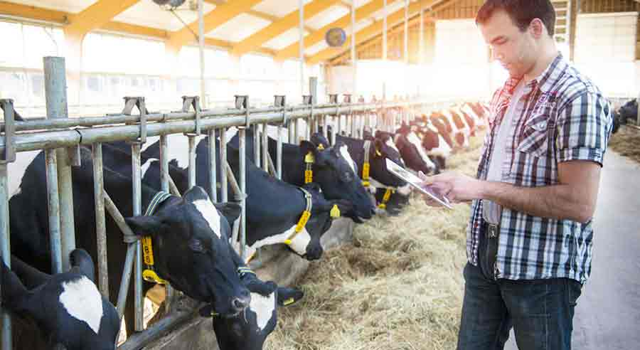 Problems Encountered by Cattle Breeders | MilkingCloud